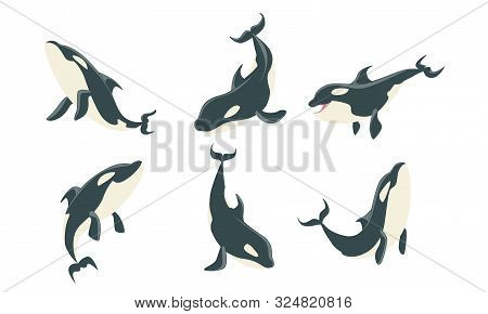 Killer Whales Set, Orca Or Toothed Whale, Marine Mammal Animal Leaping Out Of Water Vector Illustrat
