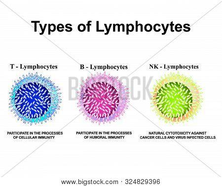 Types Of Lymphocytes. T Lymphocytes, B Lymphocytes, Nk Lymphocytes Structure. The Function Of Lympho