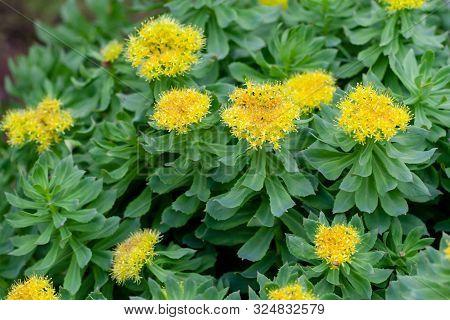 Blooming Rhodiola Rosea. Blooming Rich Bushes Of Rhodiola Rosea, Close-up. Medicinal Plant Golden Ro