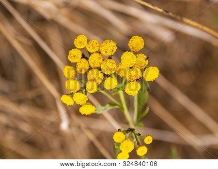 Yellow Wild Flowers. Macro Photo. Background Image.