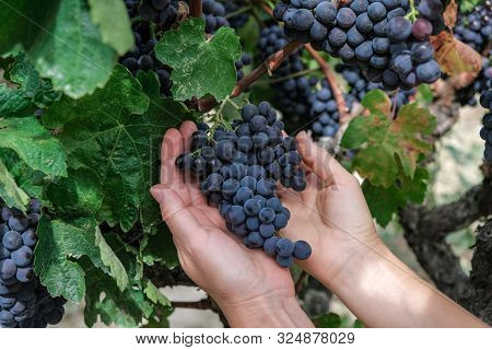 Hands Of A Young Woman With Freshly Delicious Ripe Dark Blue Grapes On Green Leaves Background. Peop