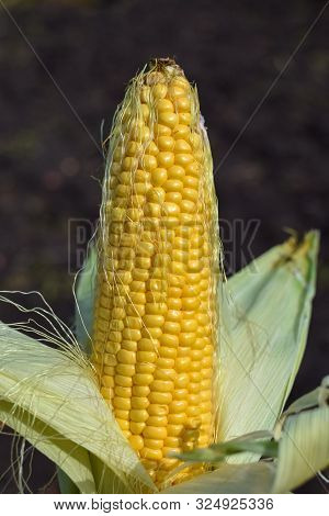 Ripe Yellow Corn Uncovered On The Cob Under The Sunlight At Garden