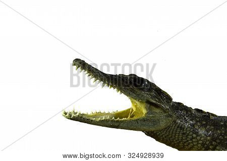 Closeup Of Crocodile Head With Open Mouth Isolated On White Background.