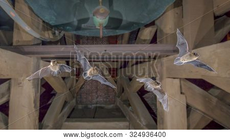 Four Pipistrelle Bats (pipistrellus Pipistrellus) Flying In Church Tower