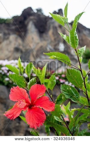 Red Flowers Of The Cliff In Madeira
