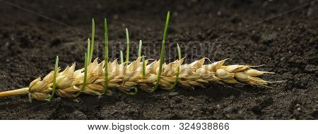 Germinating Wheat Seeds In Old Cereal Ear - New Life, Revival Concept. Panoramic Image From Several