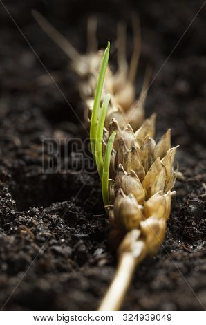 Macro of new germinating wheat seeds growing in old ear, renaissance and regeneration concept poster