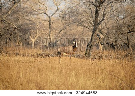 Blesbuck Standing On The Dry Savannah With Barenaked Trees In The Background