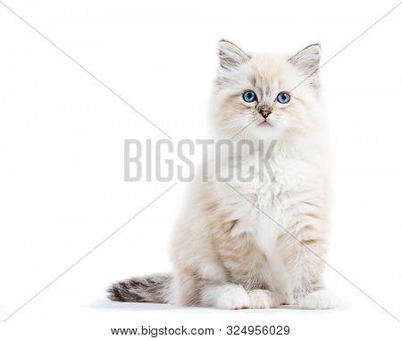Ragdoll cat, small kitten portrait isolated on white background. Pedigree pet