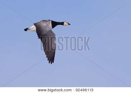 Barnacle Goose (Branta leucopsis) in flight