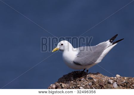 A Kittiwake is standing on a cliff poster