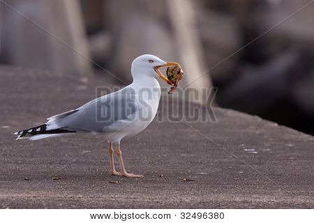 A gull with a crab in its beak poster
