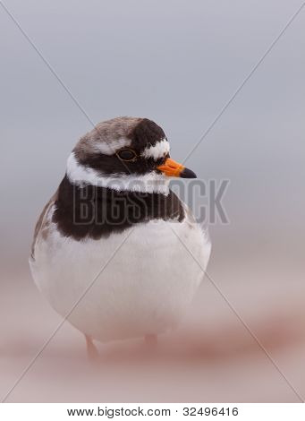 Ringed plover close-up