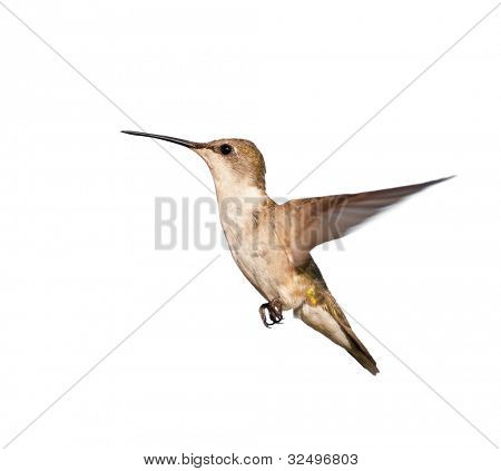 Female Ruby-throated Hummingbird in flight, isolated on white poster