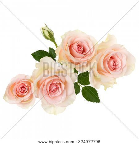 pink roses isolated on white background closeup. Rose flower bouquet in air, without shadow. Top view, flat lay..