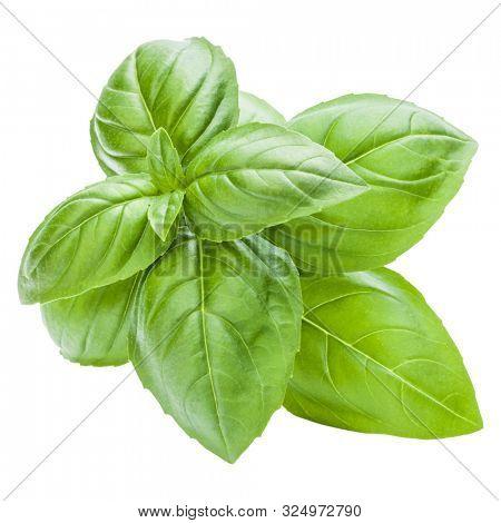 Fresh sweet Genovese basil leaves isolated on white background cutout..