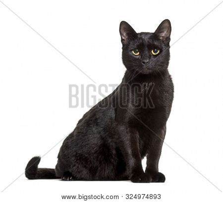 Black mixed-breed domestic cat sitting against white background