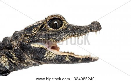 Dwarf crocodile, Osteolaemus tetraspis, also known commonly as the African dwarf crocodile, West African dwarf crocodile, and broad-snouted crocodile, in front of white background
