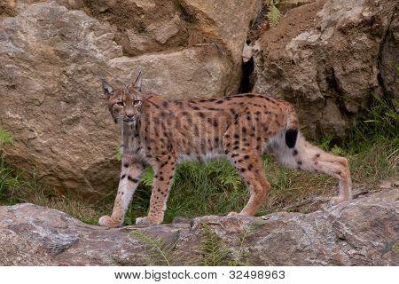 A Eurasian lynx (Lynx lynx) is walking poster