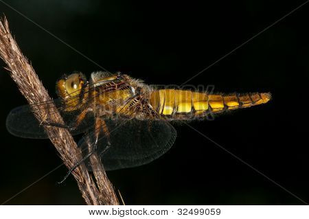 Broad-bodied Chaser (Libellula depressa) on a black background poster