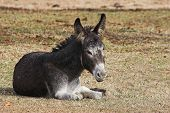 young donkey is a family pet, resting in the cool of the day poster