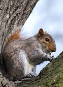 squirrel comfortably settling down in the fork of tree found some thing for dinner poster
