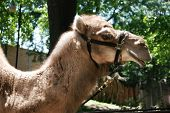 Profile of a camel with his harness poster