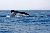 Tail of Humpback Whale above surface of water poster