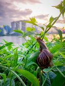 Snail climbing on plant in the evening beside the river opposite landmark building of Singapore at sunset. Slow life concept. Slow travel in Singapore. Snail in garden. Closeup invertebrate animal. poster