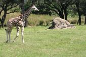a young giraffe exploring on its own during a sunny day poster