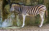 zoo animal feeding, zuzuland zebra eating hay, tropical horse specie from Africa poster