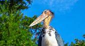 Marabou stork bird with long beak and bald head. African bird in zoo. Long legs and beak bird. Carnivorous bird species. Wildlife of Africa. Birdwatching portrait. Tropical zoo inhabitant on blue sky poster