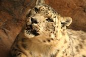 Young Snow leopard approaching with dangerous expression poster