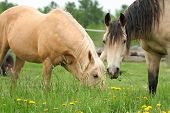 Two horses grazing together in green pasture poster