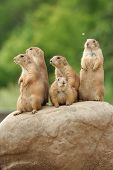 GRoup of prairie dogs standing on top of rock poster