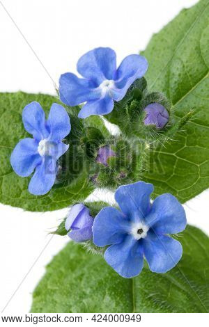 Whole fresh twig of  Anchusa plant with blue flowers close up on white background