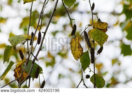 Autumn Background Birch Branches With Leaves. Yellow Leaves On A Birch Branch. Autumn Rainy Weather.