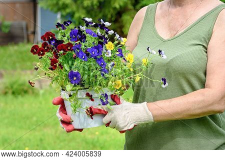 Female Florist In Work Gloves Holds Seedlings Of Pansies In The Summer Garden Of The House, Outdoors