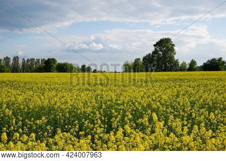 Agriculture. Blooming Rapeseed Field. Bright Yellow Rapeseed Flowers In Sunlight Against The Blue Sk