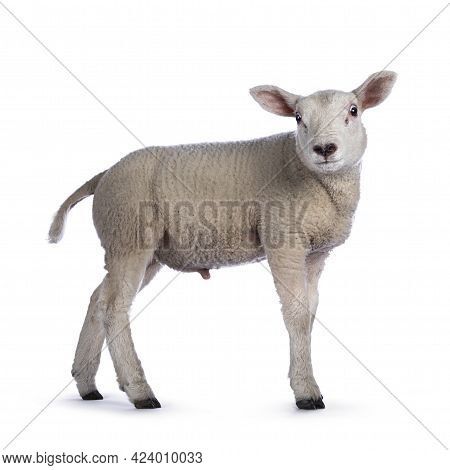 Cute Little Texel Lamb, Standing Side Ways. Head Turned Looking Towards Camera. Isolated On White Ba