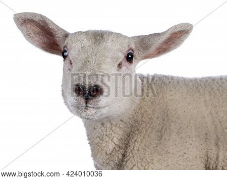 Head Shot Of Cute Little Texel Lamb, Standing Side Ways. Looking Curious Towards Camera. Isolated On