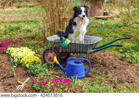 Outdoor Portrait Of Cute Dog Border Collie Sitting In Wheelbarrow Garden Cart In Garden Background.