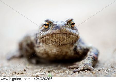 Common Toad On The Dirt Road In Spring