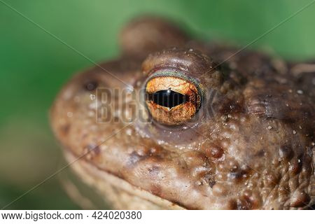 Portrait In Profile Of A Common Toad Macro Outdoors