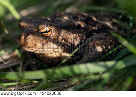 Toad Sitting In Green Grass With Shadows On Its Face