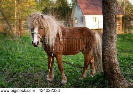 Pony Horse Stands Near A Tree With A Village House On The Background