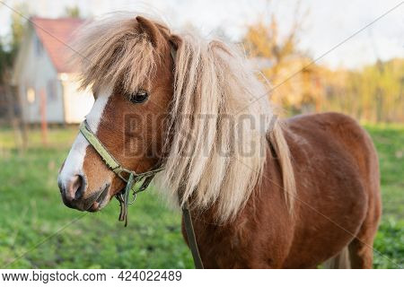 Pony Horse Stands On A Green Pasture With A Village House On The Background
