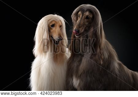 Two Dogs. Love, Relationships. Afghan Hound On A Black Background. Long-haired Dog For Excellent Gro