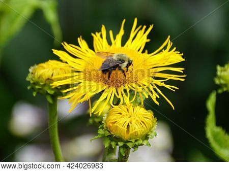 Close-up Of A Bee Pollinating A Beautiful Small Sunflower