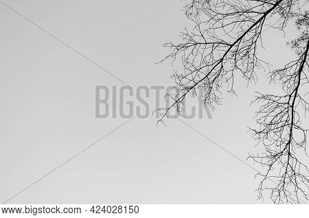 Natural Color Silhouette Of A Leafless Tree Against An Overcast Sky. Black Curved Branches. Monochro